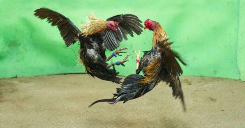 Kelebihan Corak Bulu Pada Ayam Petarung