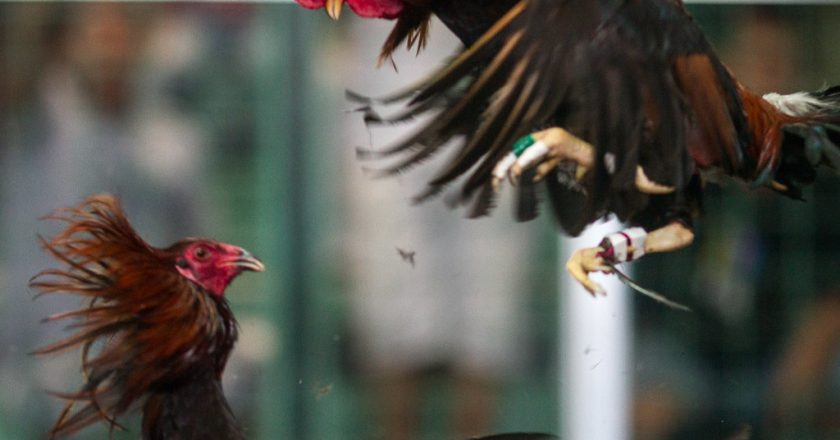 Khasiat Keong Sawah Untuk Ayam