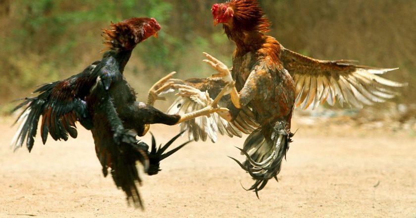 Makanan Tambahan Tepat Untuk Ayam