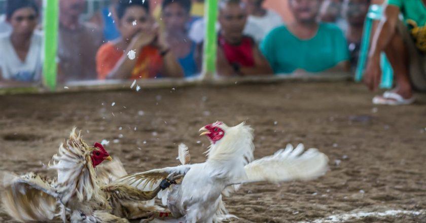 Langkah Imunisasi Pada Ayam Laga