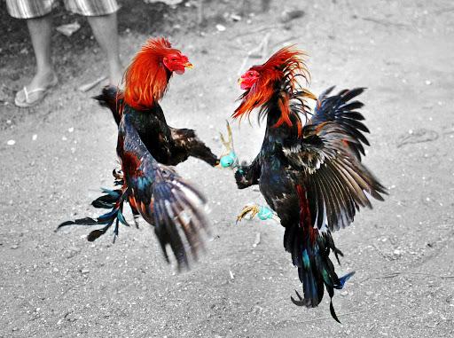 Mengobati Kaki Ayam Yang Keseleo